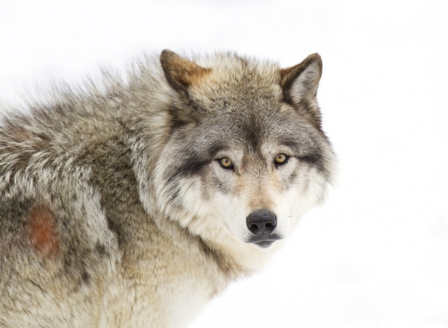 Échame a los lobos y lideraré la manada
