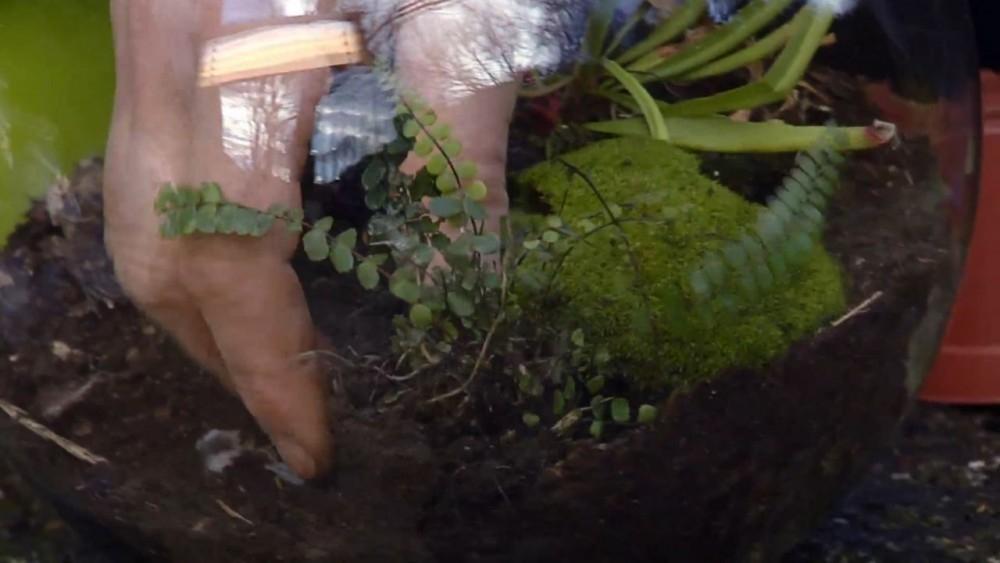 Cómo cultivar plantas carnívoras en esferas de vidrio- plantar