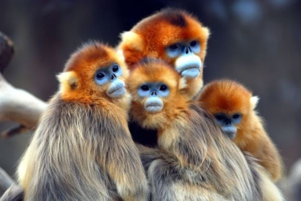 golden_monkey_02