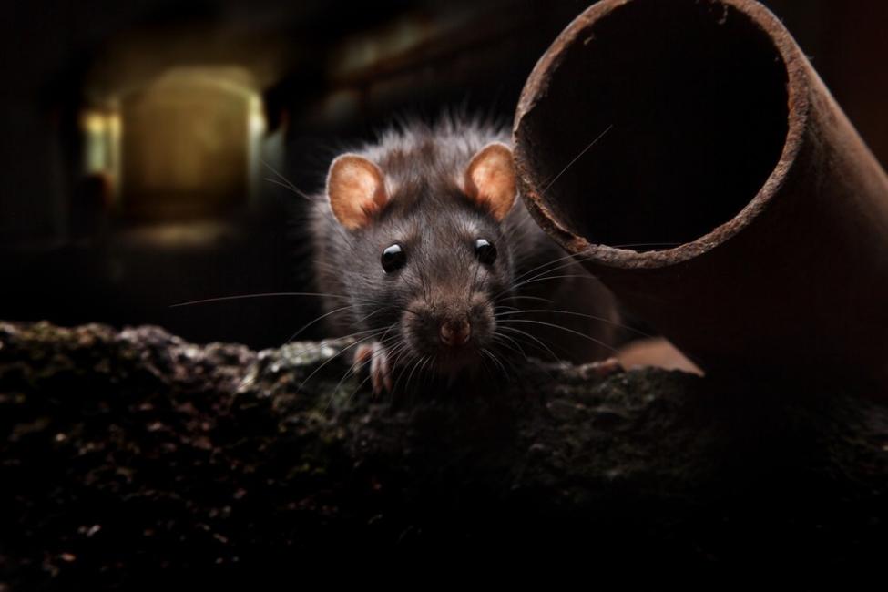 Cómo espantar ratones sin dañarlos