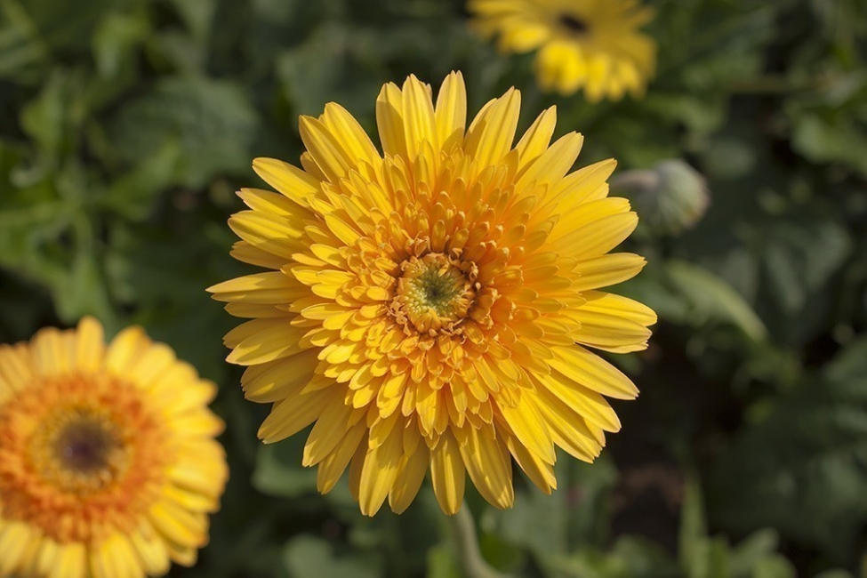 plantas para desintoxicar tu hogar- Gerbera