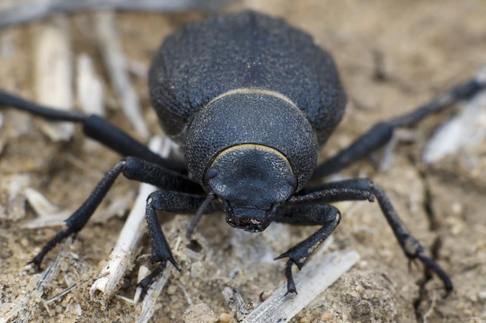 escarabajo de namib
