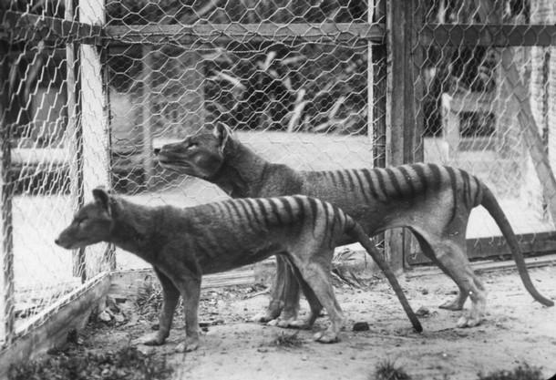Tigres de Tasmania en cautiverio