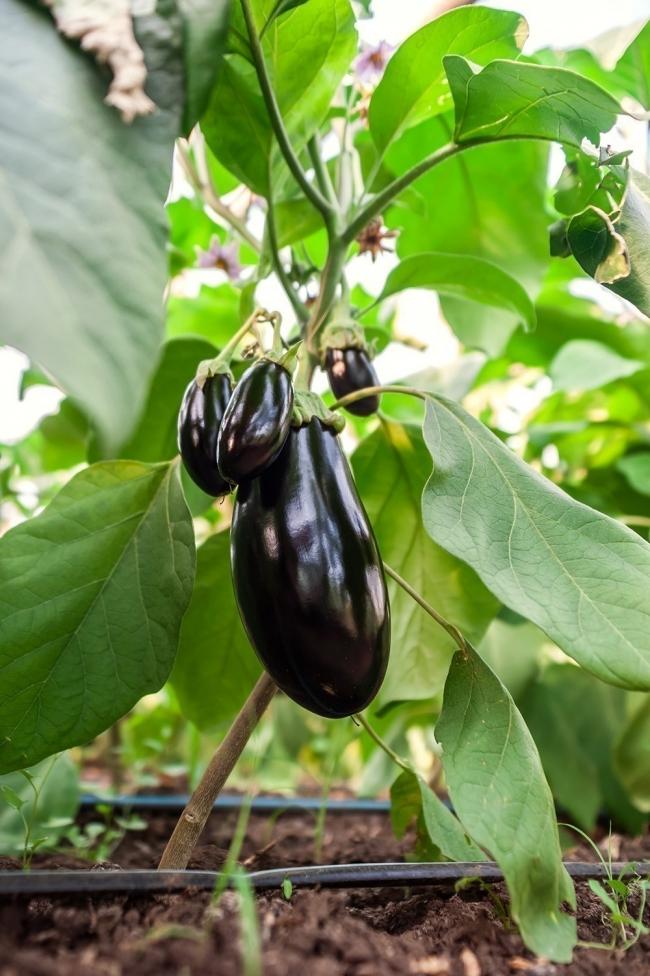 cultivar berenjenas en macetas- berenjena
