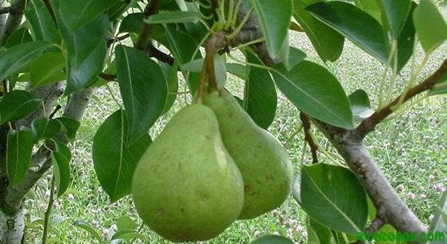 Como plantar un frutal en el jardin - Como plantar arboles frutales ...