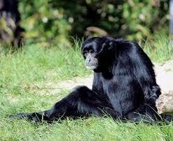 Las madres chimpancés se esconden para tener a sus hijos