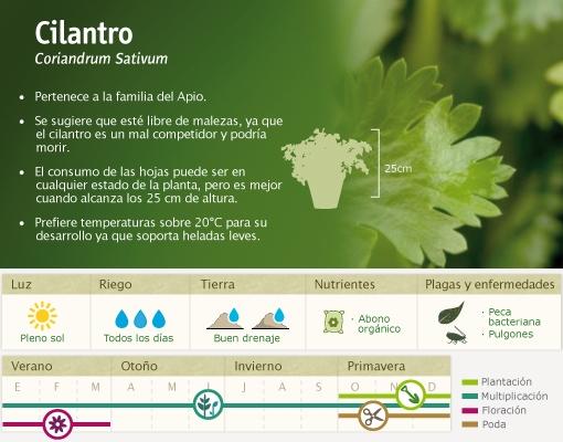 planta_cilantro