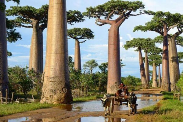 arboles-baobab-madagascar