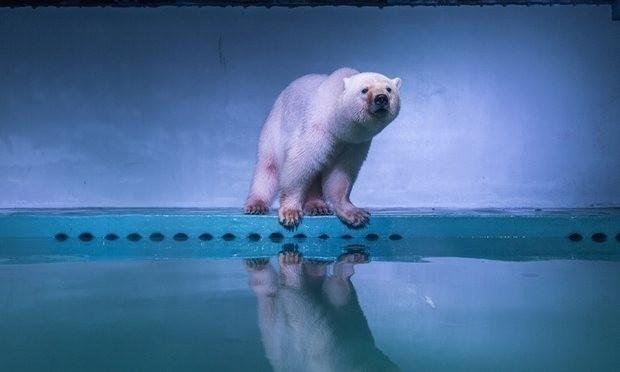 pizza, el nuevo oso polar más triste del mundo