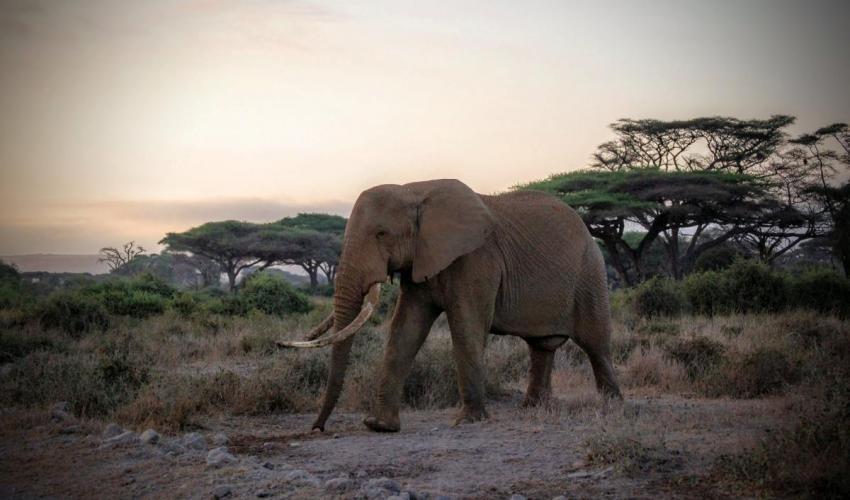 Los elefantes son cazados para obtener el marfil de sus colmillos