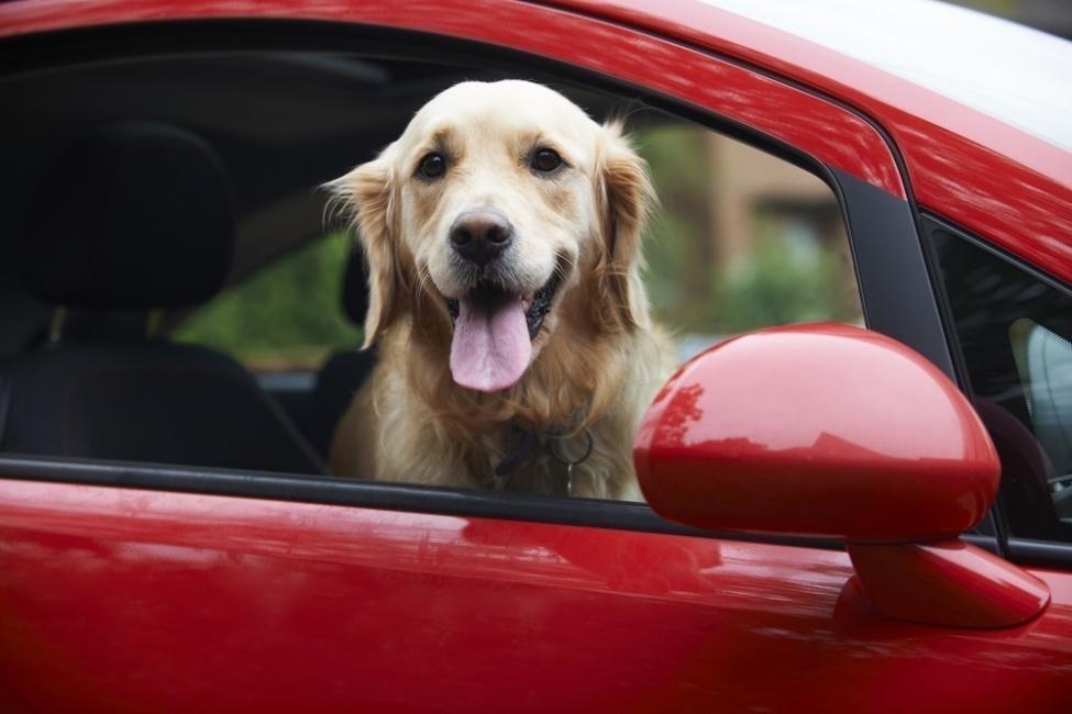 perro mareo auto