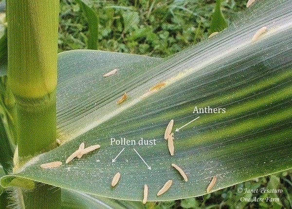 Cómo cultivar maíz en espacios reducidos