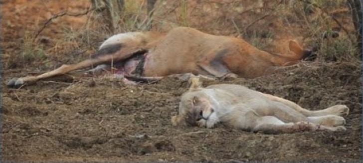 Después de notar que su presa estaba embarazada la leona se acercó a ver si el feto seguía con vida