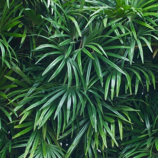 plantas para desintoxicar tu hogar- Palma de Bambu