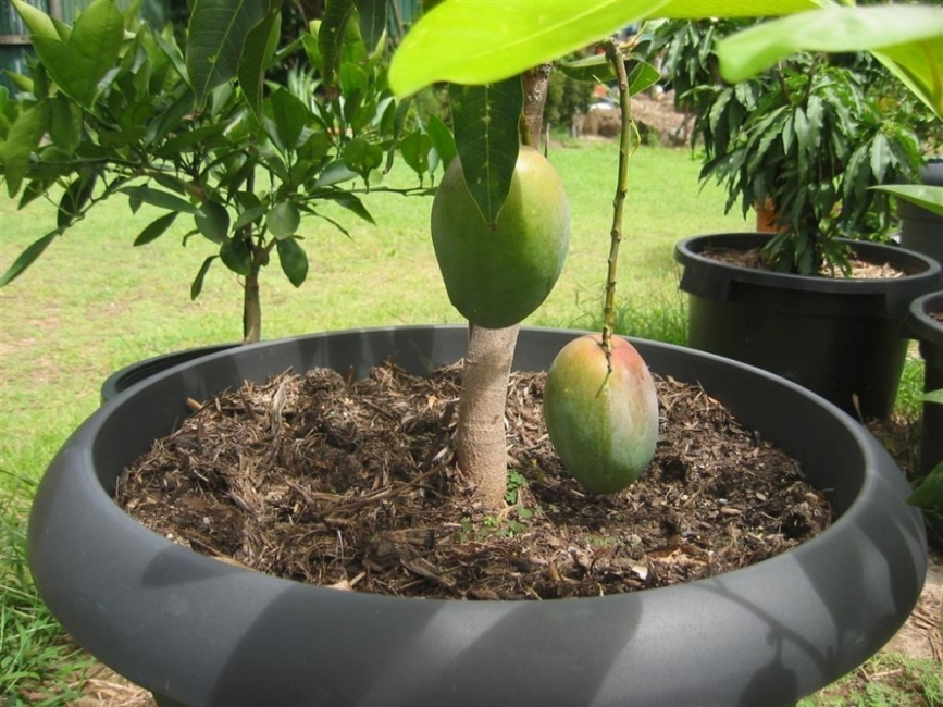 cultivar mango en macetas- cosecha