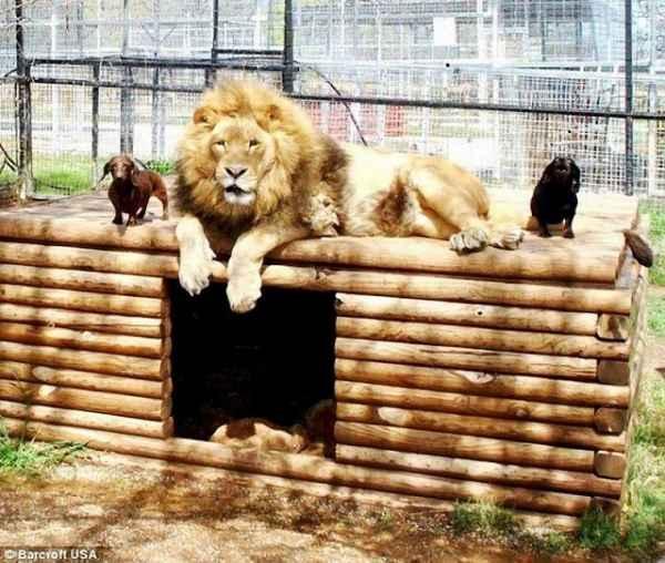 increible-amistad-un-perro-salchicha-un-leon--L-91Xm5j