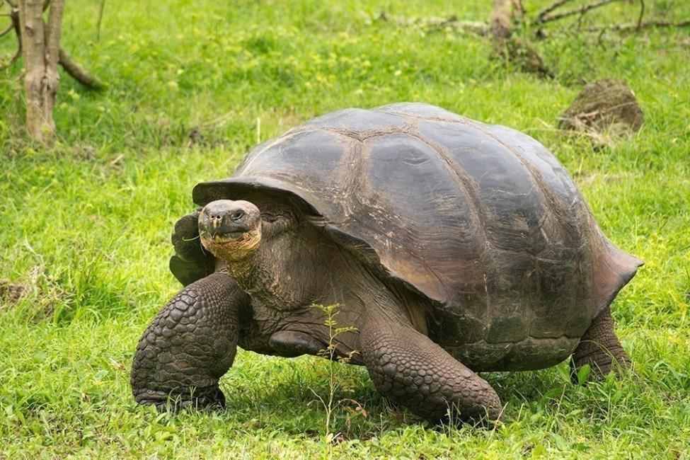 Tortugas bebés en Galápagos - tortugas gigantes