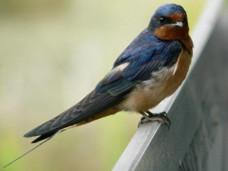 golondrinas- aves migratorias