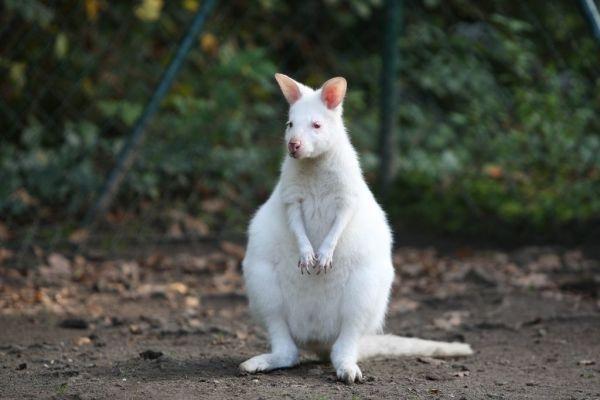 Albino_Kangaroo