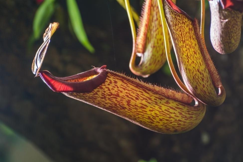 heliámphoras plantas carnívoras