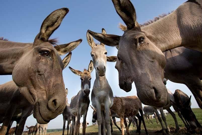 La palabra «burro» o «borrico» son derivados regresivos del latín tardío burricus