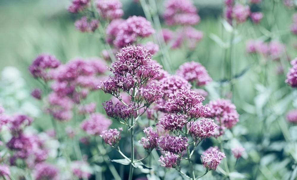 5 plantas shamánicas que sanan tu cuerpo- libro hierbas y plantas curativas de Fernández Chiti- valeriana