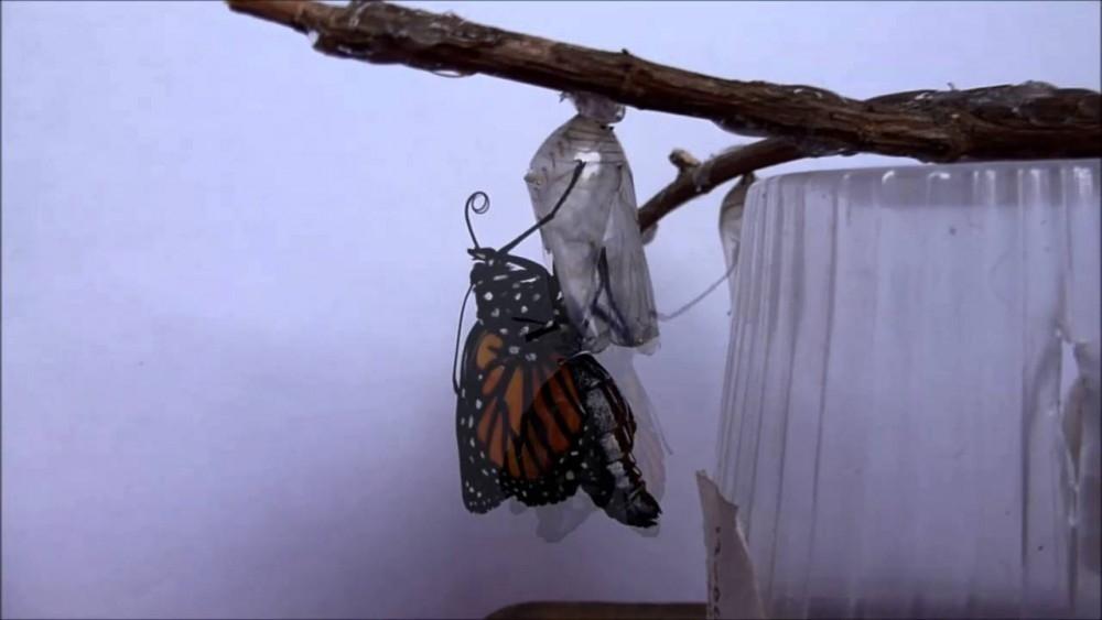 mariposa capullo