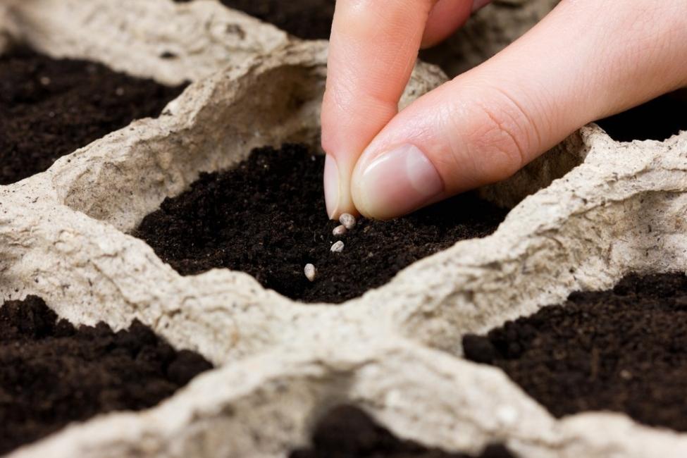 semillas plantar canela