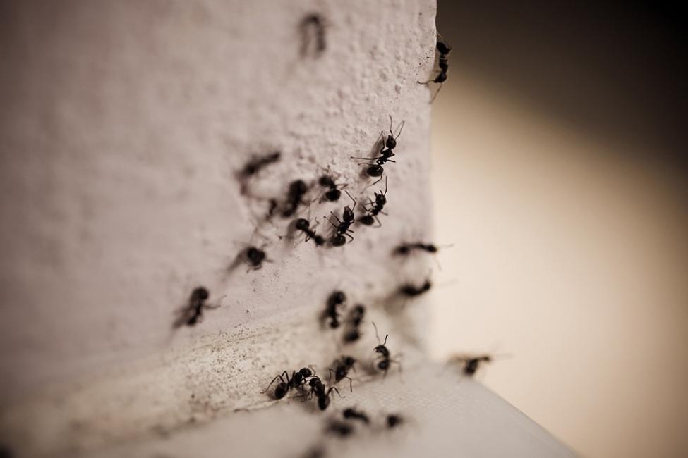 Alejar los insectos de manera natural y libre de químico - repelentes hormigas