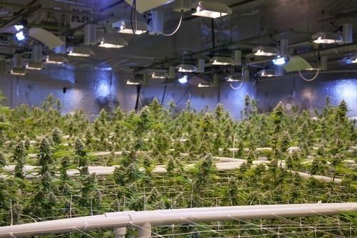 El cannabis tiene propiedad tranquilizantes