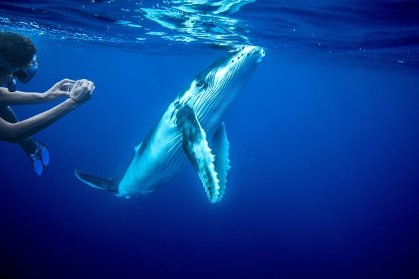 Whale-Diving-Dive-With-Whales-Tonga-3