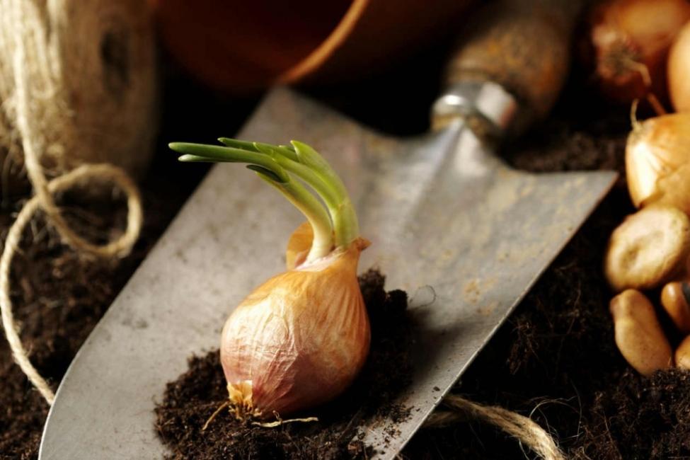 Vegetales y hierbas que puedes tener para siempre - cebolla