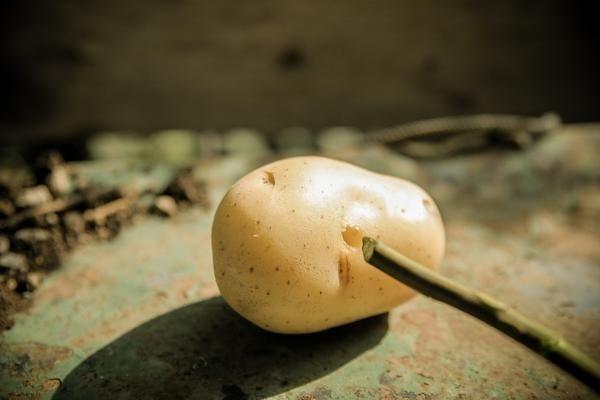 esquejes en patata- trucos de jardinería