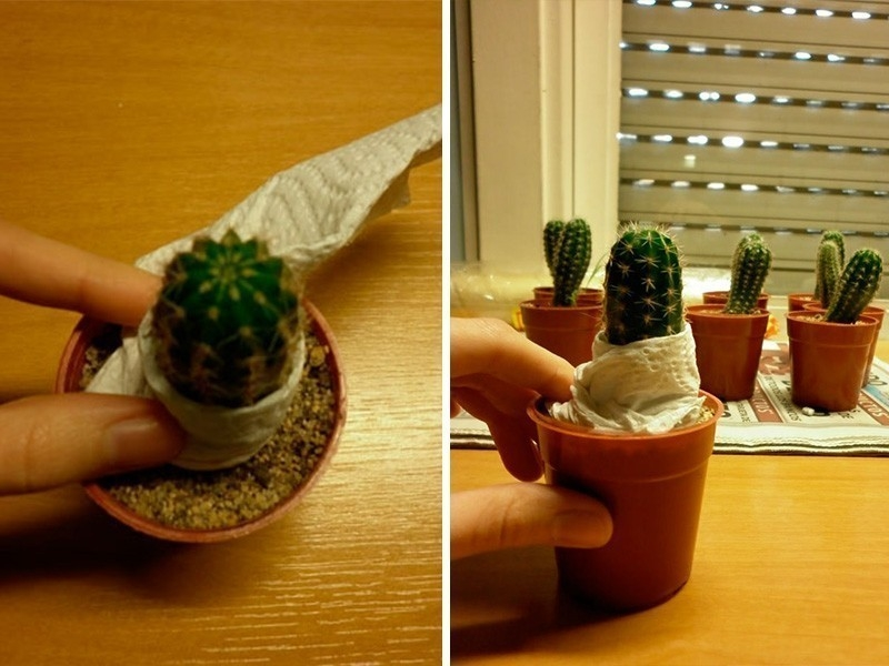 injerto de cactus - pie o soporte