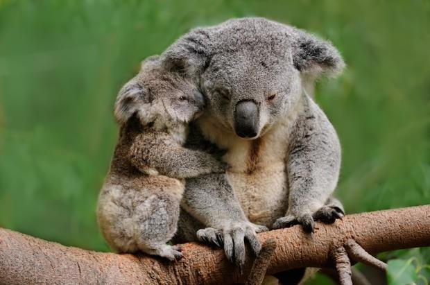 El koala encontrado fue mutilado