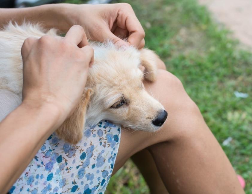 pulgas y garrapatas- Cómo hacer un repelente casero y natural para tus mascotas
