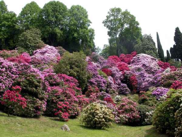 Rododendro-flores