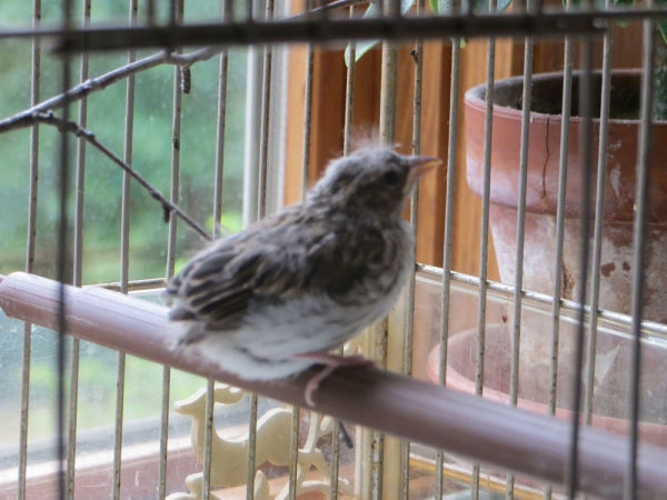 rescued_songbird_11
