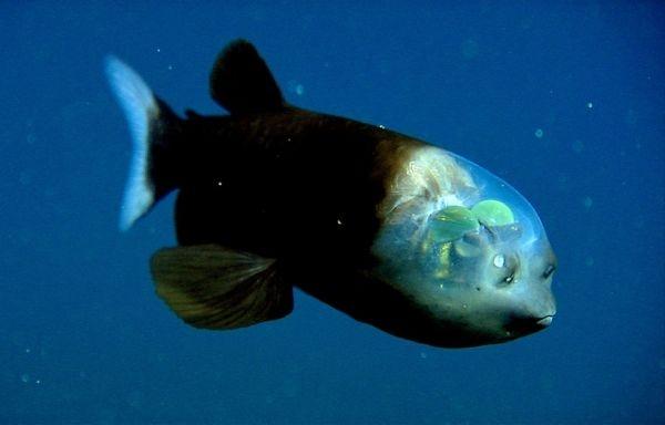 La Barreleye o pez duende