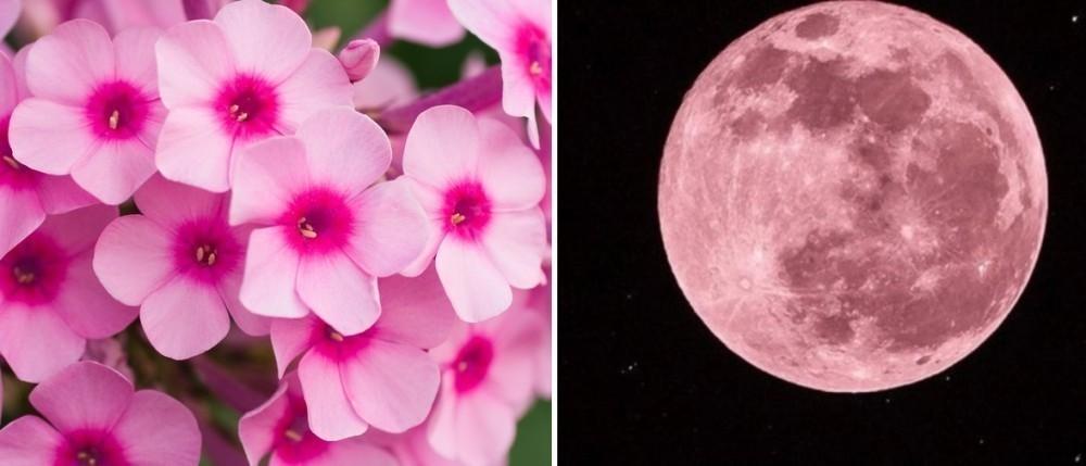 Luna rosa / Pink moon / Flores silvestres