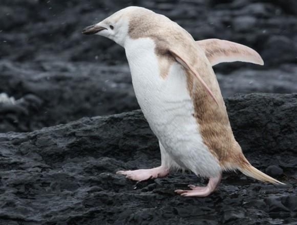 blond-albino-penguin