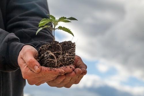 Las propiedades curativas del cannabis fueron descubiertas hace más de 400 años