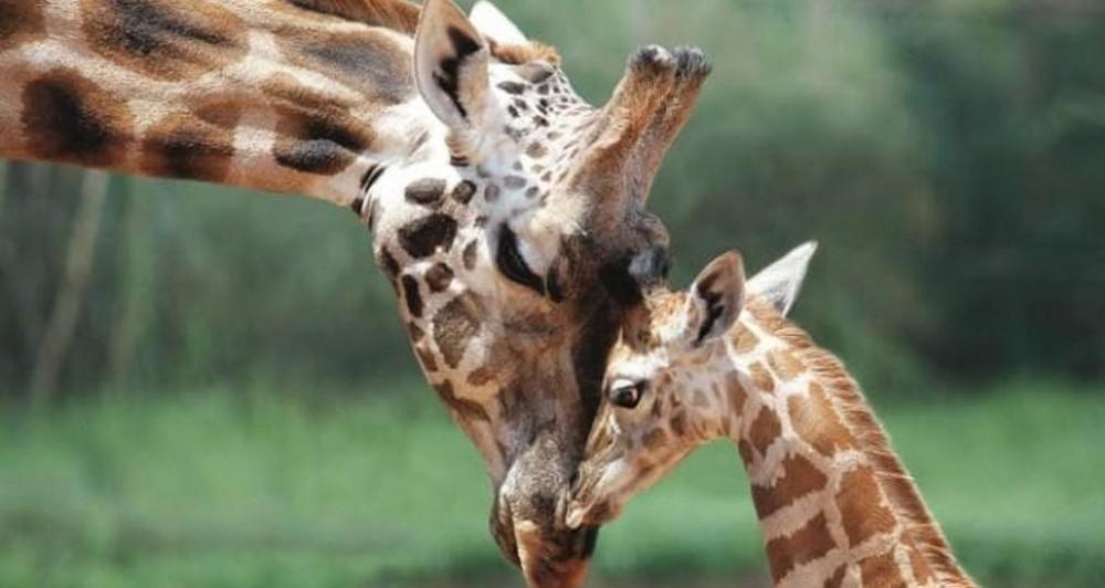 jirafas en extinción - animales en peligro de extinción