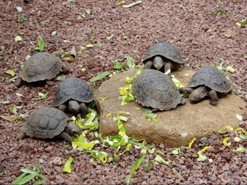 Tortugas bebés en Galápagos - tortugas